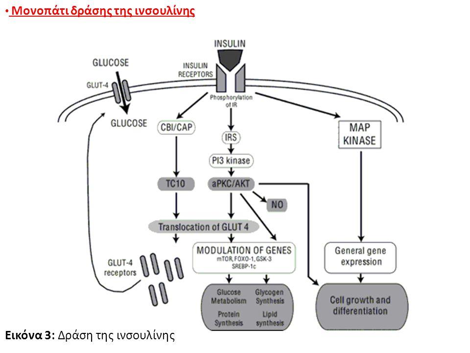 Μονοπάτι δράσης της ινσουλίνης Εικόνα 3: Δράση της ινσουλίνης