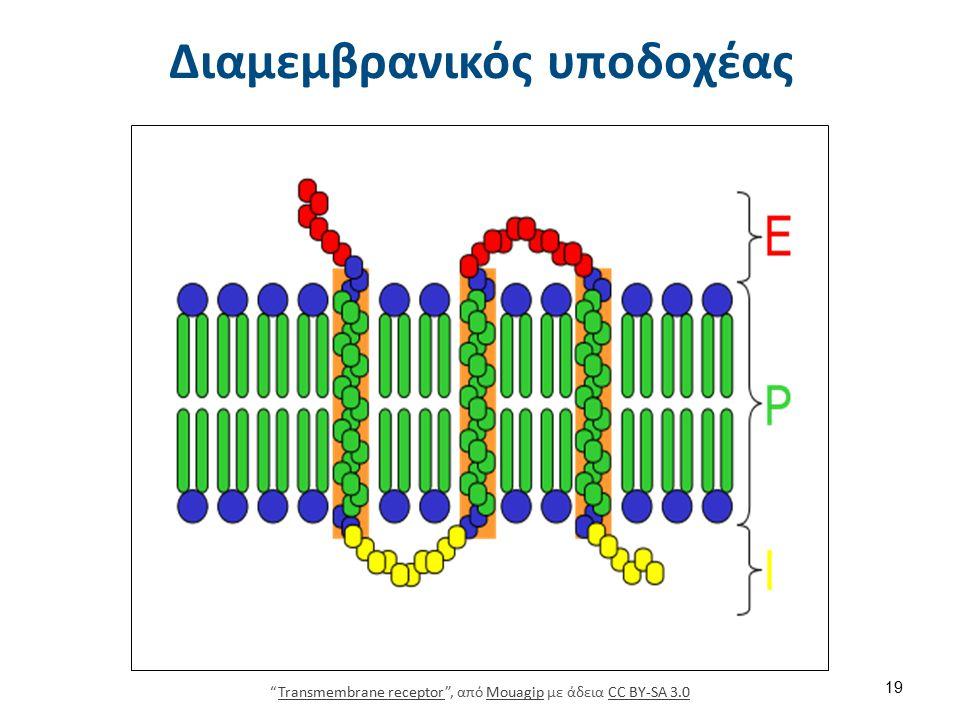 """Διαμεμβρανικός υποδοχέας """"Transmembrane receptor"""", από Mouagip με άδεια CC BY-SA 3.0Transmembrane receptorMouagipCC BY-SA 3.0 19"""
