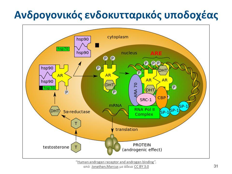 """Ανδρογονικός ενδοκυτταρικός υποδοχέας """"Human androgen receptor and androgen binding"""", από Jonathan.Marcus με άδεια CC BY 3.0Human androgen receptor an"""