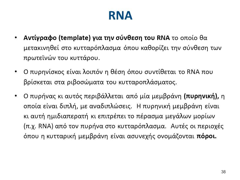 RNA Αντίγραφο (template) για την σύνθεση του RNA το οποίο θα μετακινηθεί στο κυτταρόπλασμα όπου καθορίζει την σύνθεση των πρωτεϊνών του κυττάρου. Ο πυ