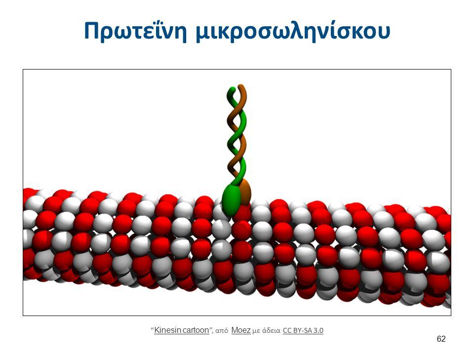 """Πρωτεΐνη μικροσωληνίσκου """" Kinesin cartoon """", από Moez με άδεια CC BY-SA 3.0 Kinesin cartoon MoezCC BY-SA 3.0 62"""