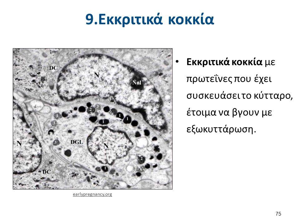 9.Εκκριτικά κοκκία Εκκριτικά κοκκία με πρωτεΐνες που έχει συσκευάσει το κύτταρο, έτοιμα να βγουν με εξωκυττάρωση. earlypregnancy.org 75