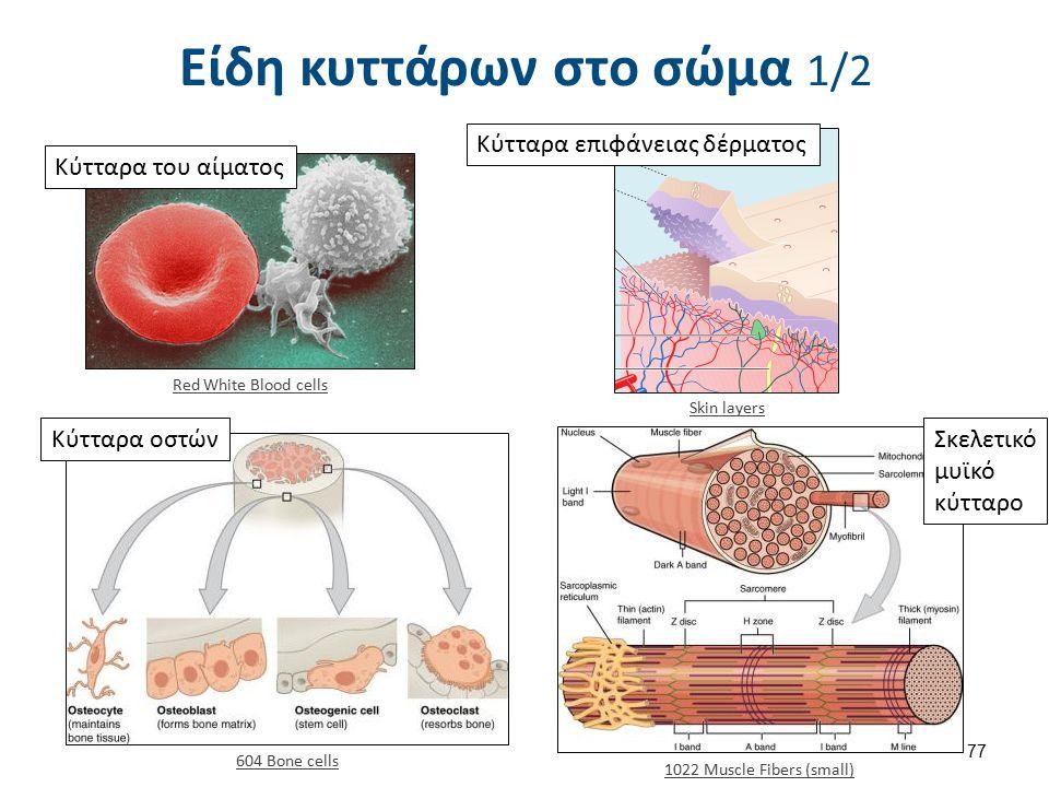 Είδη κυττάρων στο σώμα 1/2 Red White Blood cells Κύτταρα του αίματος Skin layers Κύτταρα επιφάνειας δέρματος Κύτταρα οστών 604 Bone cells 1022 Muscle