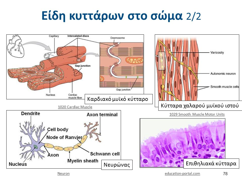 Είδη κυττάρων στο σώμα 2/2 Καρδιακό μυϊκό κύτταρο Κύτταρα χαλαρού μυϊκού ιστού 1020 Cardiac Muscle 1029 Smooth Muscle Motor Units Νευρώνας Neuron educ