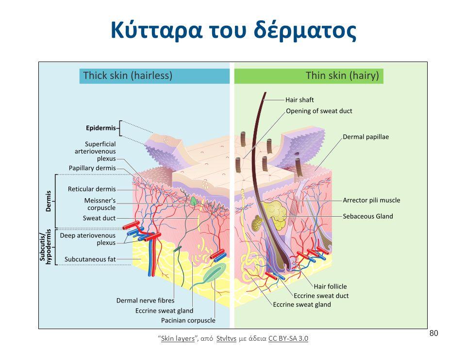 """Κύτταρα του δέρματος """"Skin layers"""", από Stvltvs με άδεια CC BY-SA 3.0Skin layersStvltvsCC BY-SA 3.0 80"""