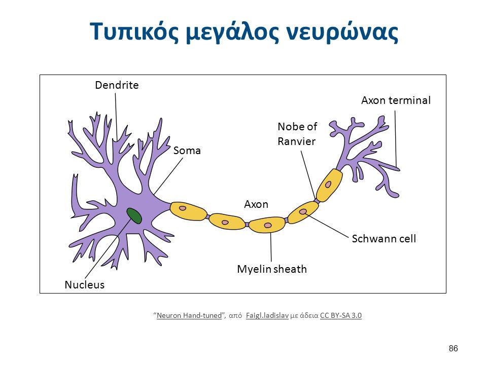 """Τυπικός μεγάλος νευρώνας Dendrite Nucleus Soma Axon Myelin sheath Nobe of Ranvier Axon terminal Schwann cell """"Neuron Hand-tuned"""", από Faigl.ladislav μ"""