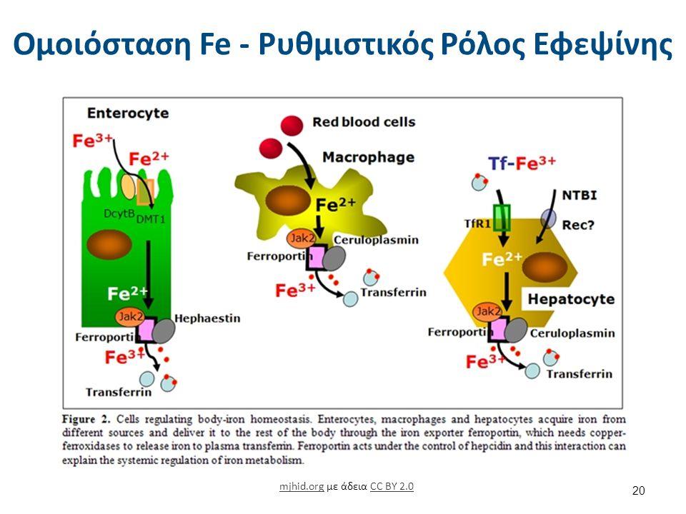 Ομοιόσταση Fe - Ρυθμιστικός Ρόλος Εφεψίνης mjhid.orgmjhid.org με άδεια CC BY 2.0CC BY 2.0 20