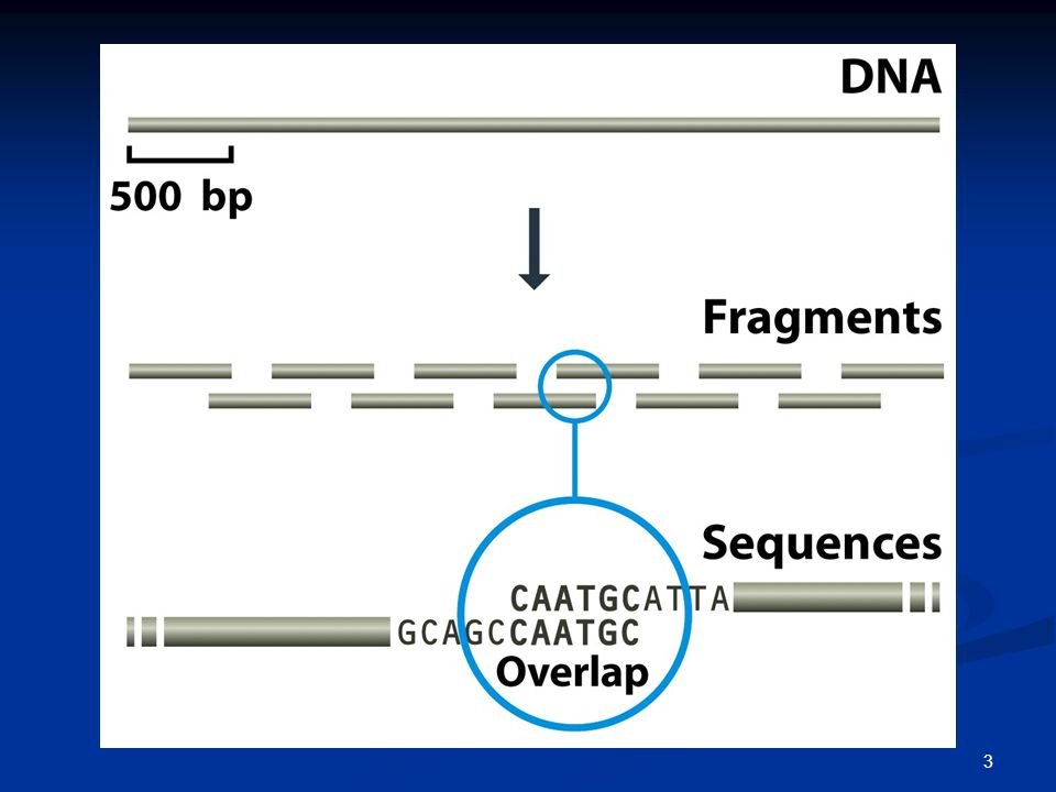 4 Η ολοκληρωμένη αλληλουχία ενός τμήματος DNA προσδιορίζεται μέσω της συναρμολόγησης επικαλυπτόμενων αναγνώσεων αλληλουχίας.