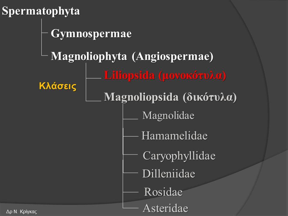 Spermatophyta Gymnospermae Magnoliophyta (Angiospermae) Liliopsida (μονοκότυλα) Magnoliopsida (δικότυλα) Magnolidae Hamamelidae Κλάσεις Rosidae Asteridae Dilleniidae Caryophyllidae Δρ Ν.