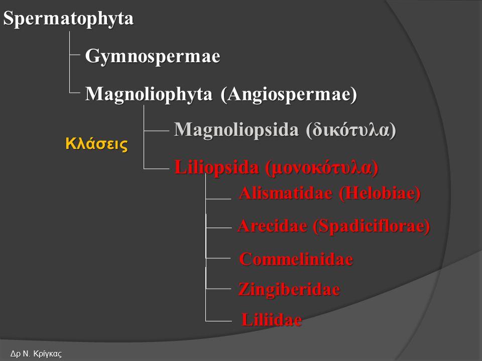 Spermatophyta Gymnospermae Magnoliophyta (Angiospermae) Liliopsida (μονοκότυλα) Magnoliopsida (δικότυλα) Alismatidae (Helobiae) Arecidae (Spadiciflora