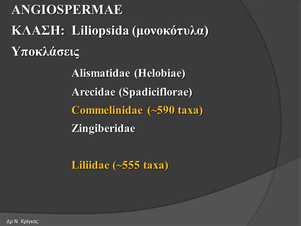 ANGIOSPERMAE ΚΛΑΣΗ:Liliopsida (μονοκότυλα) Υποκλάσεις Alismatidae (Helobiae) Arecidae (Spadiciflorae) Commelinidae (~590 taxa) Zingiberidae Liliidae (~555 taxa) Δρ Ν.