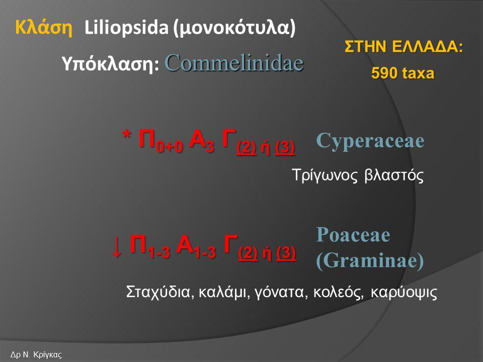 Cyperaceae Poaceae (Graminae) Liliopsida (μονοκότυλα) Commelinidae Υπόκλαση: Commelinidae Κλάση * Π 0+0 Α 3 Γ (2) ή (3) ↓ Π 1-3 Α 1-3 Γ (2) ή (3) 590 taxa ΣΤΗΝ ΕΛΛΑΔΑ: Δρ Ν.