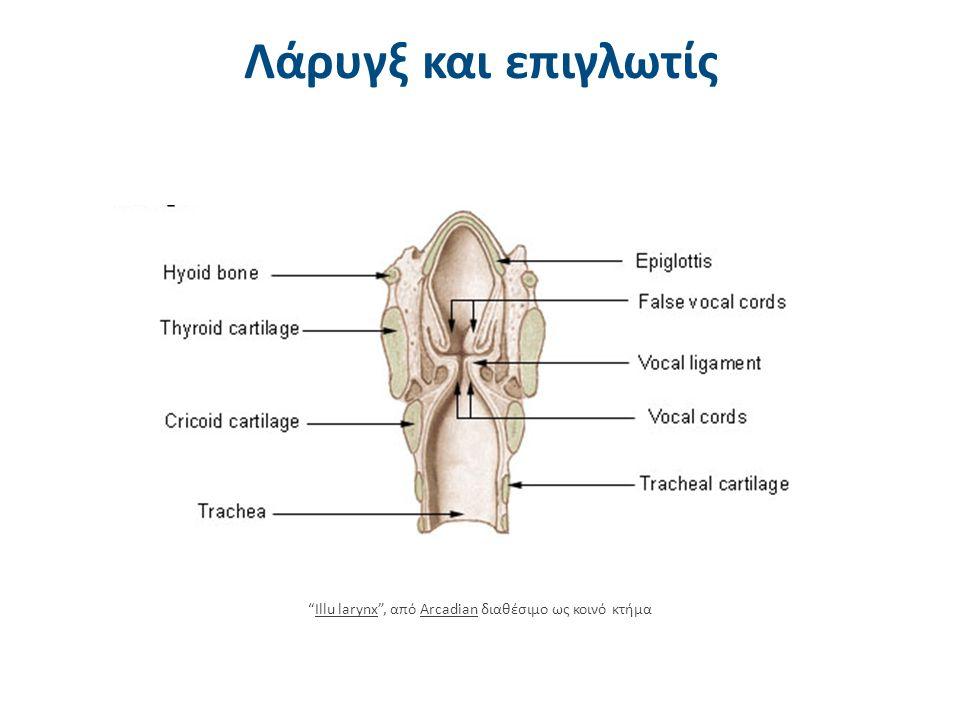 """Λάρυγξ και επιγλωτίς """"Illu larynx"""", από Arcadian διαθέσιμο ως κοινό κτήμαIllu larynxArcadian"""