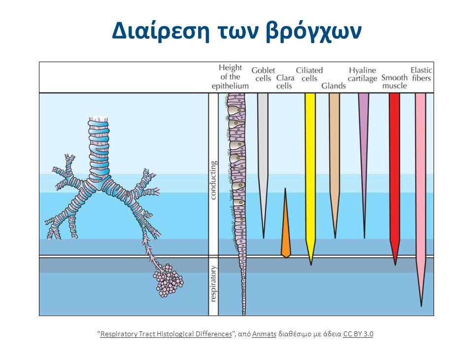 """Διαίρεση των βρόγχων """"Respiratory Tract Histological Differences"""", από Anmats διαθέσιμο με άδεια CC BY 3.0Respiratory Tract Histological DifferencesAn"""