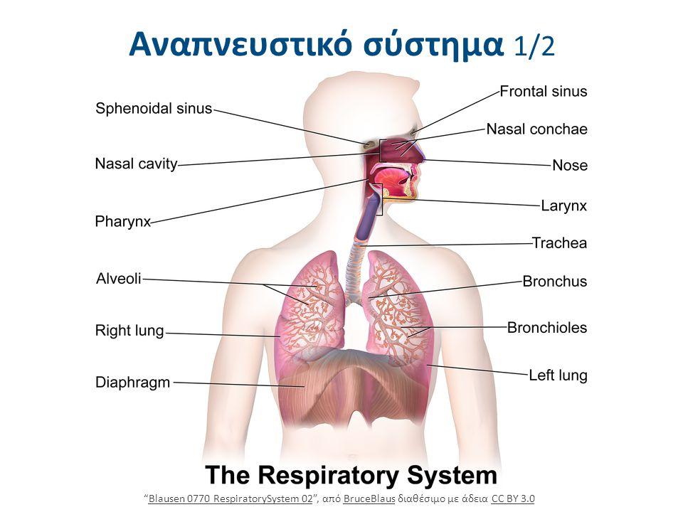 """Αναπνευστικό σύστημα 1/2 """"Blausen 0770 RespiratorySystem 02"""", από BruceBlaus διαθέσιμο με άδεια CC BY 3.0Blausen 0770 RespiratorySystem 02BruceBlausCC"""