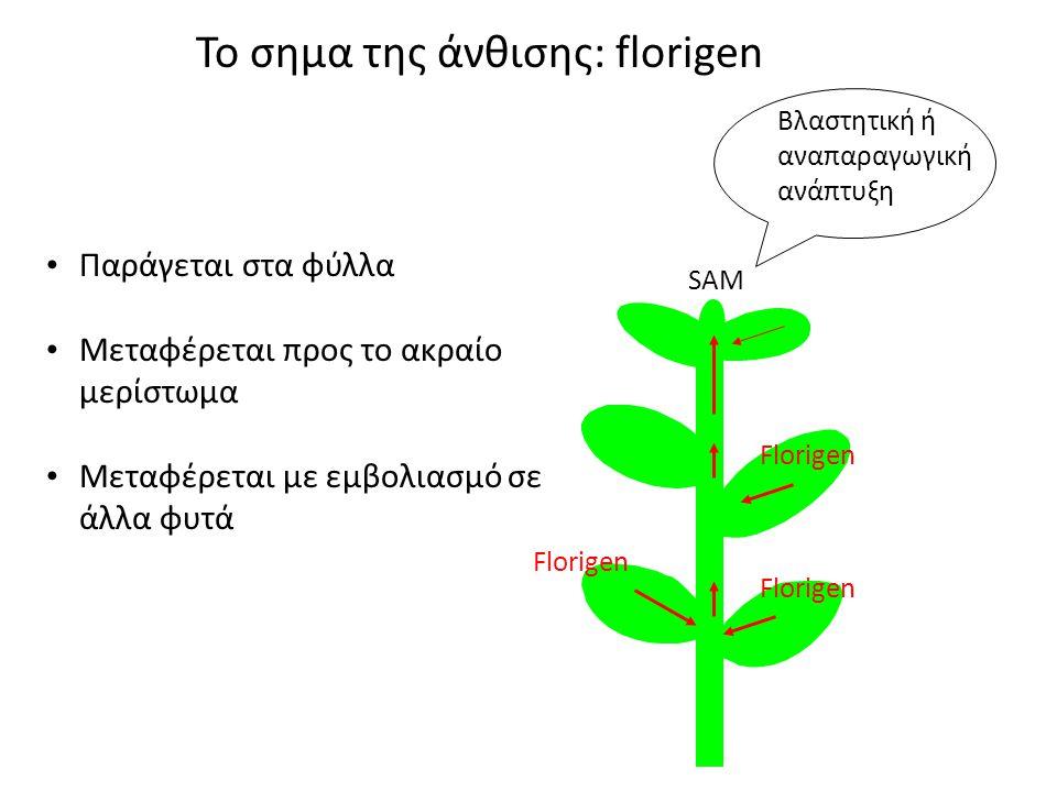 Παράγεται στα φύλλα Μεταφέρεται προς το ακραίο μερίστωμα Μεταφέρεται με εμβολιασμό σε άλλα φυτά Το σημα της άνθισης: florigen Βλαστητική ή αναπαραγωγική ανάπτυξη SAM Florigen