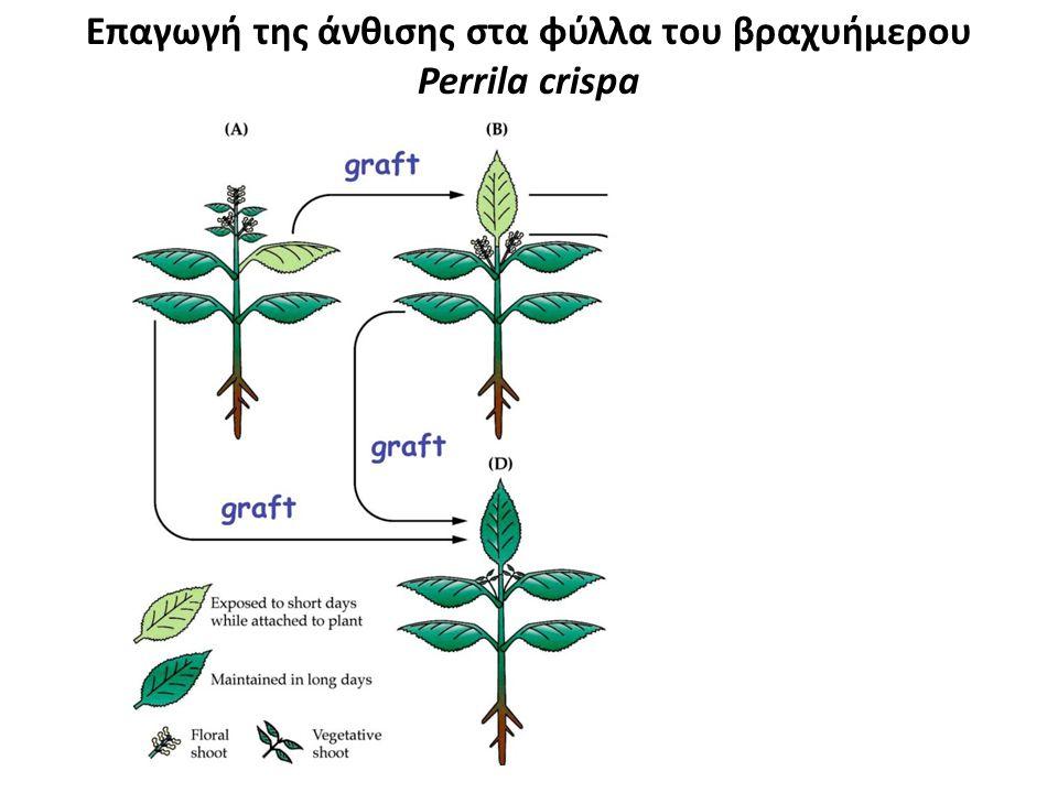 Επαγωγή της άνθισης στα φύλλα του βραχυήμερου Perrila crispa
