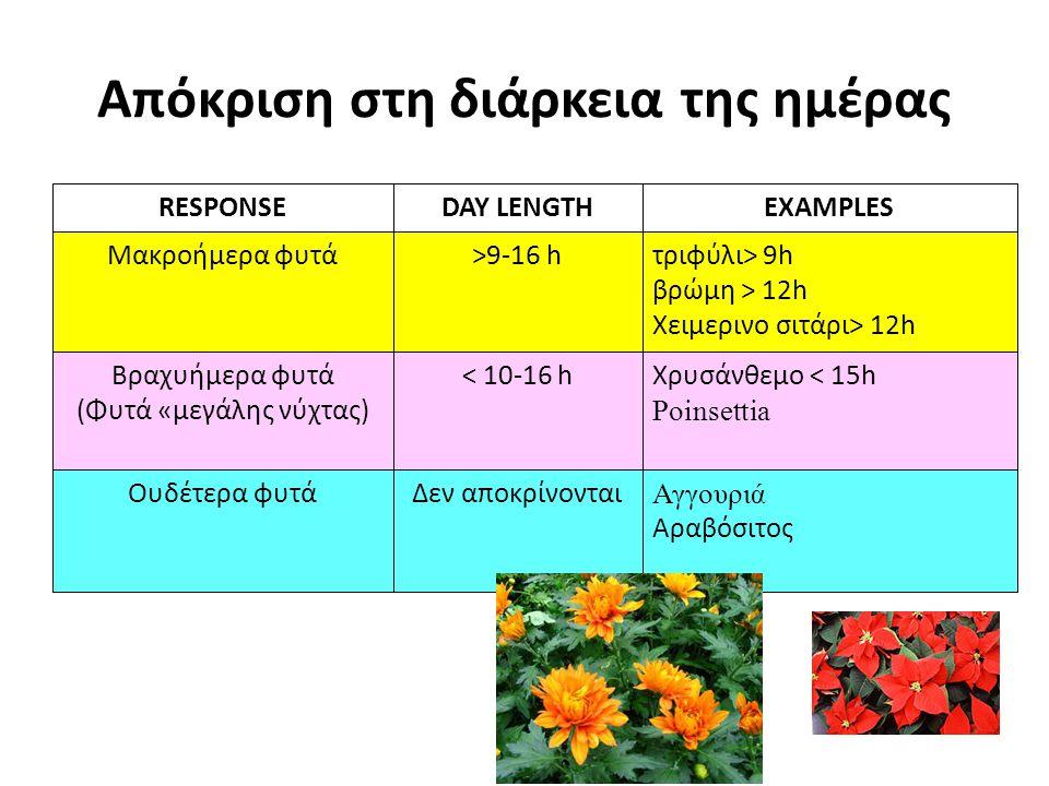 Απόκριση στη διάρκεια της ημέρας Αγγουριά Αραβόσιτος Δεν αποκρίνονταιΟυδέτερα φυτά Χρυσάνθεμο < 15h Poinsettia < 10-16 hΒραχυήμερα φυτά (Φυτά «μεγάλης νύχτας) τριφύλι> 9h βρώμη > 12h Χειμερινο σιτάρι> 12h >9-16 hΜακροήμερα φυτά EXAMPLESDAY LENGTHRESPONSE Image Credit: Chrysanthemum Chrysanthemum