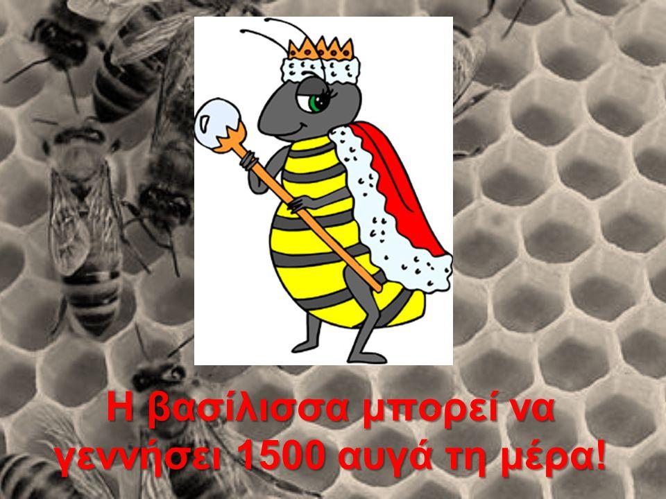 Η βασίλισσα μπορεί να γεννήσει 1500 αυγά τη μέρα!