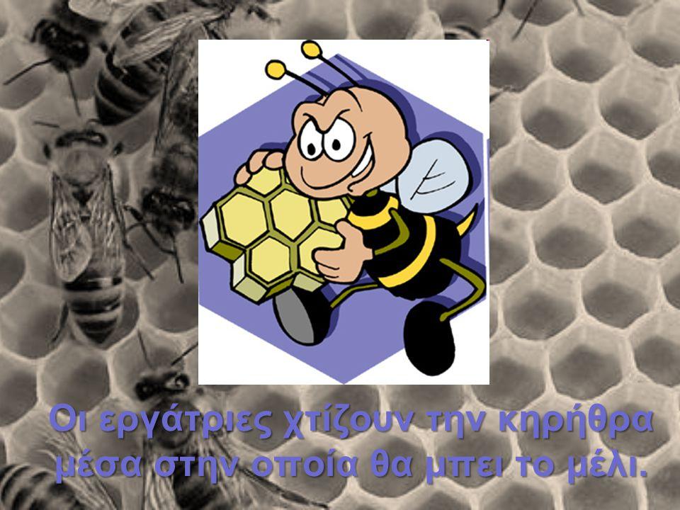 Οι εργάτριες χτίζουν την κηρήθρα μέσα στην οποία θα μπει το μέλι.