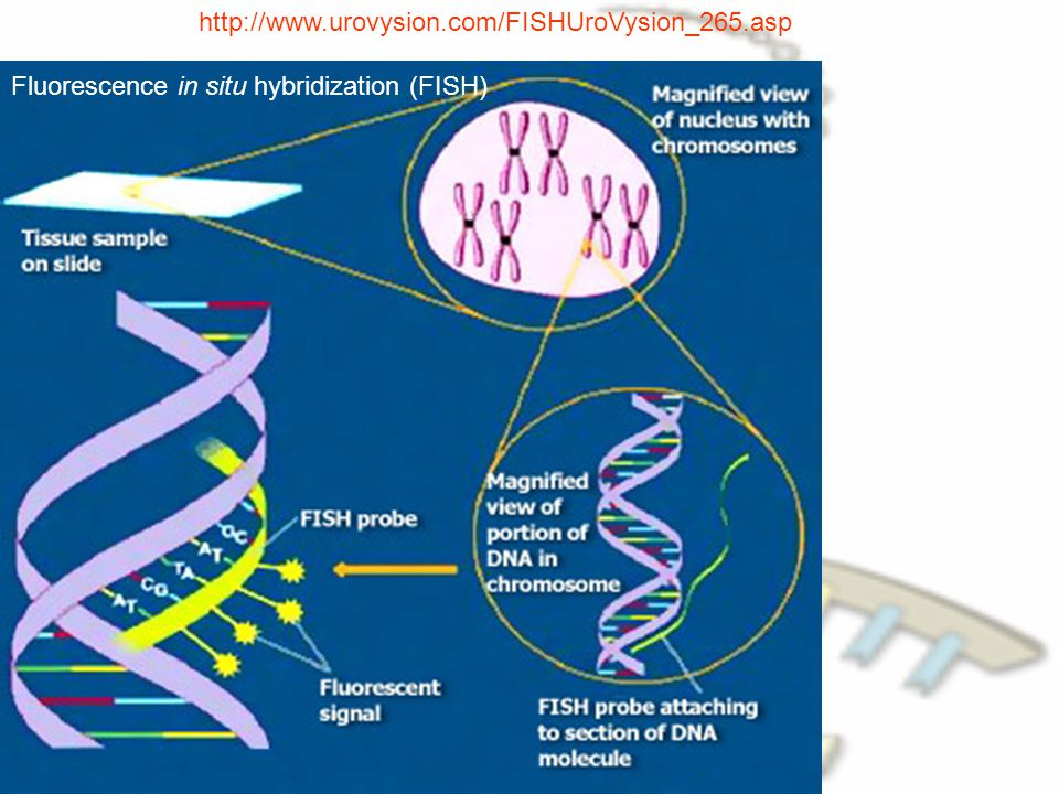 http://www.urovysion.com/FISHUroVysion_265.asp Fluorescence in situ hybridization (FISH)