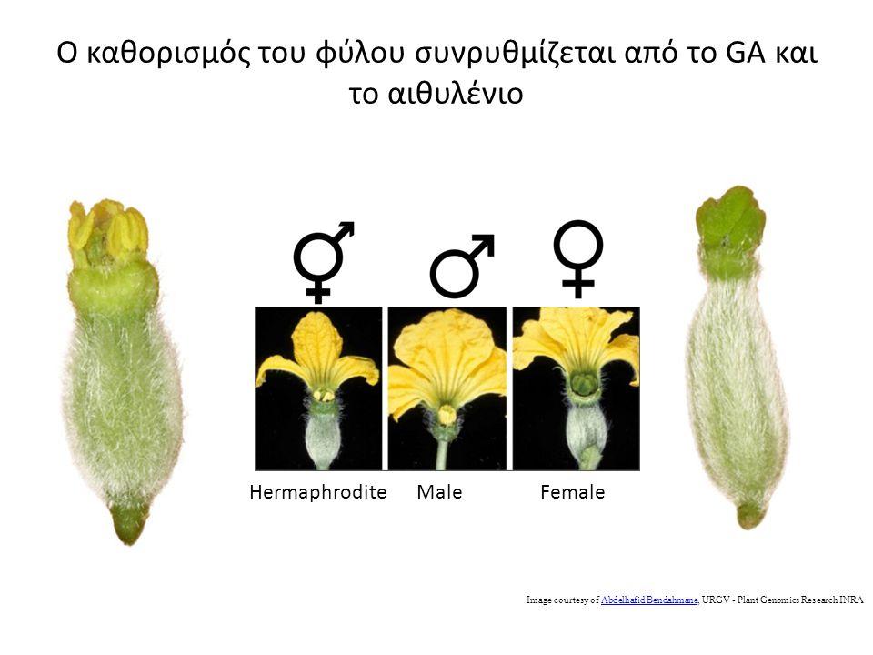 Ο καθορισμός του φύλου συνρυθμίζεται από το GA και το αιθυλένιο Image courtesy of Abdelhafid Bendahmane, URGV - Plant Genomics Research INRAAbdelhafid Bendahmane HermaphroditeMaleFemale