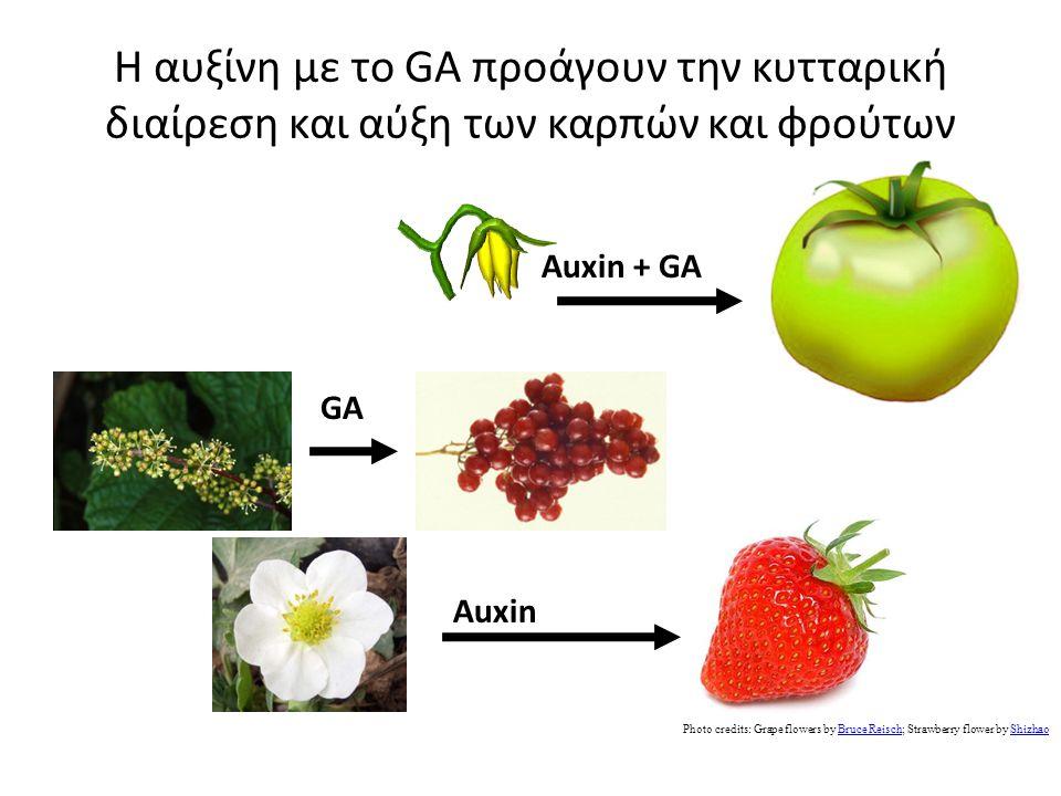 Η αυξίνη με το GA προάγουν την κυτταρική διαίρεση και αύξη των καρπών και φρούτων AuxinAuxin + GA Photo credits: Grape flowers by Bruce Reisch; Strawberry flower by ShizhaoBruce ReischShizhao GA