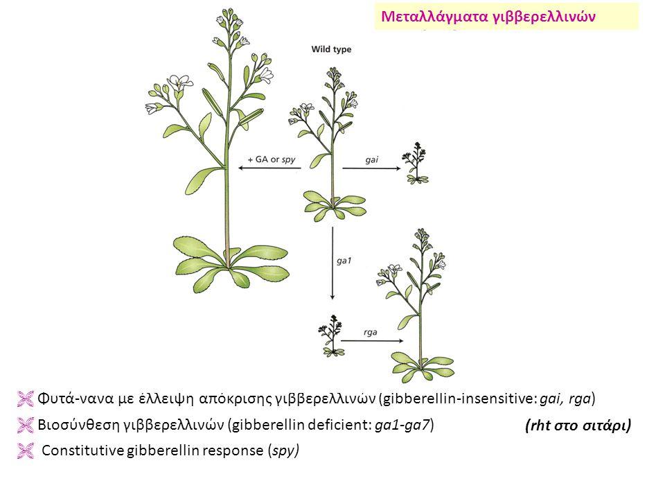  Φυτά-νανα με έλλειψη απόκρισης γιββερελλινών (gibberellin-insensitive: gai, rga)  Βιοσύνθεση γιββερελλινών (gibberellin deficient: ga1-ga7)  Constitutive gibberellin response (spy) Μεταλλάγματα γιββερελλινών (rht στο σιτάρι)
