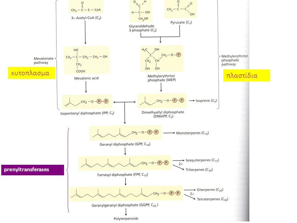 κυτοπλασμα πλαστίδια prenyltransferases