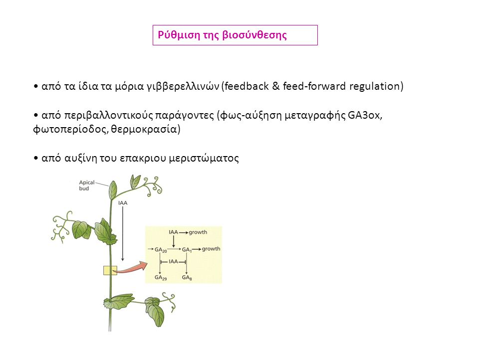 από τα ίδια τα μόρια γιββερελλινών (feedback & feed-forward regulation) από περιβαλλοντικούς παράγοντες (φως-αύξηση μεταγραφής GA3ox, φωτοπερίοδος, θερμοκρασία) από αυξίνη του επακριου μεριστώματος Ρύθμιση της βιοσύνθεσης