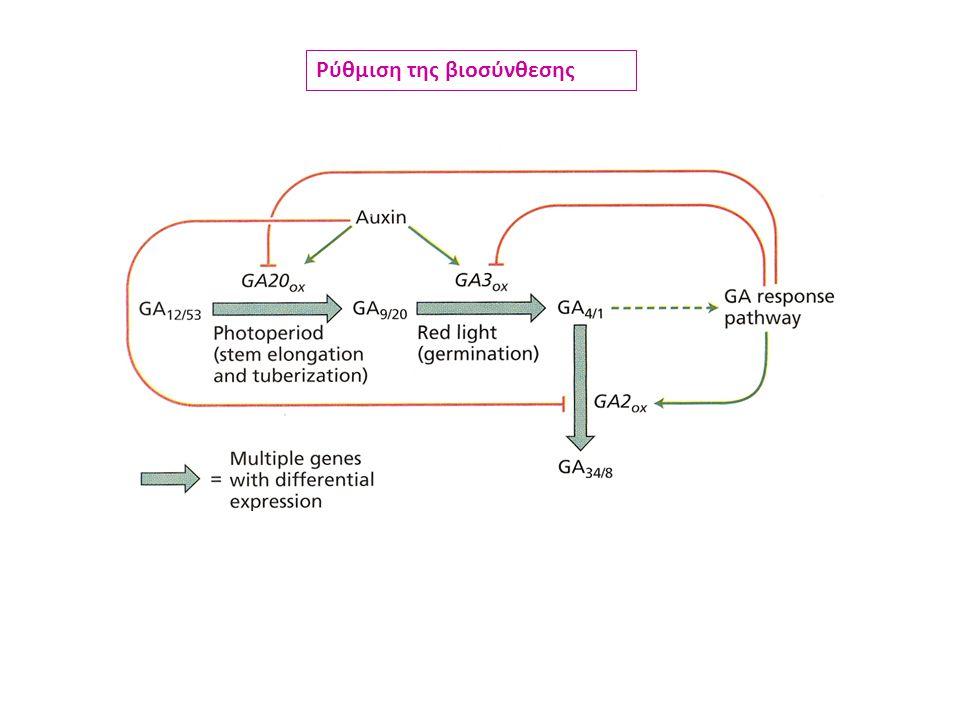 Γλυκοσυλίωση (αποθήκευση, αδρανοποίηση) Ρύθμιση ενδογενών συγκεντρώσεων Ρύθμιση βιοσύνθεσης Παρεμπόδιση β-υδροξυλίωσης Μετατροπή δραστικών σε λιγότερο δραστικές μορφές Ρύθμιση αποδόμησης Σύζευξη με άλλα βιομόρια