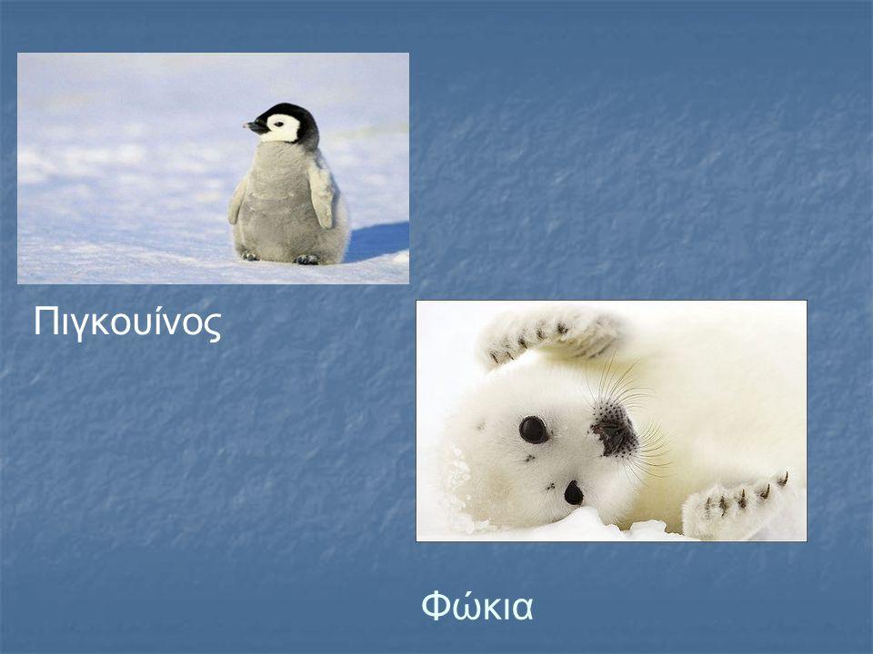 Φώκια Πιγκουίνος