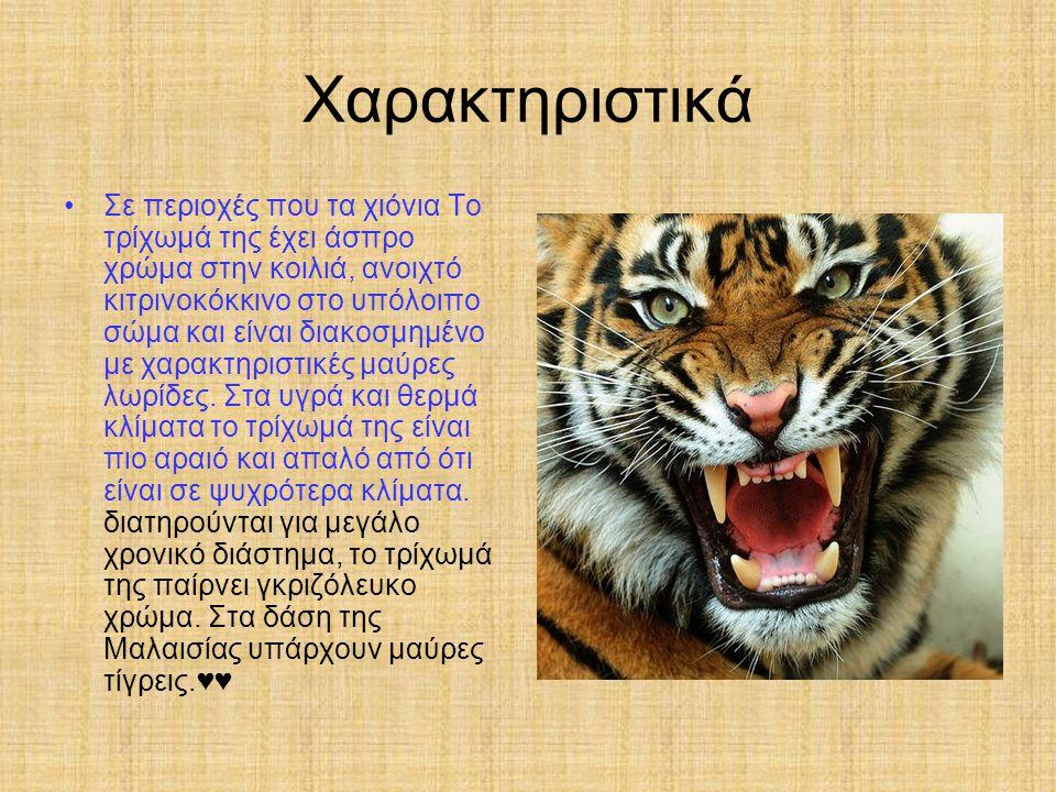 Πώς ζευγαρώνουν Η τίγρη ζευγαρώνει κατά την άνοιξη με τον τρόπο ανεβαίνει το αρσενικό πάνω στο θηλυκό κι το αρσενικό δαγκώνει το λαιμό του θηλυκό♥