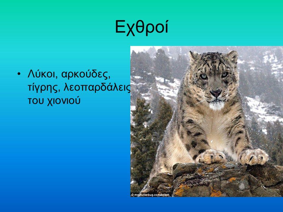 Εχθροί Λύκοι, αρκούδες, τίγρης, λεοπαρδάλεις του χιονιού
