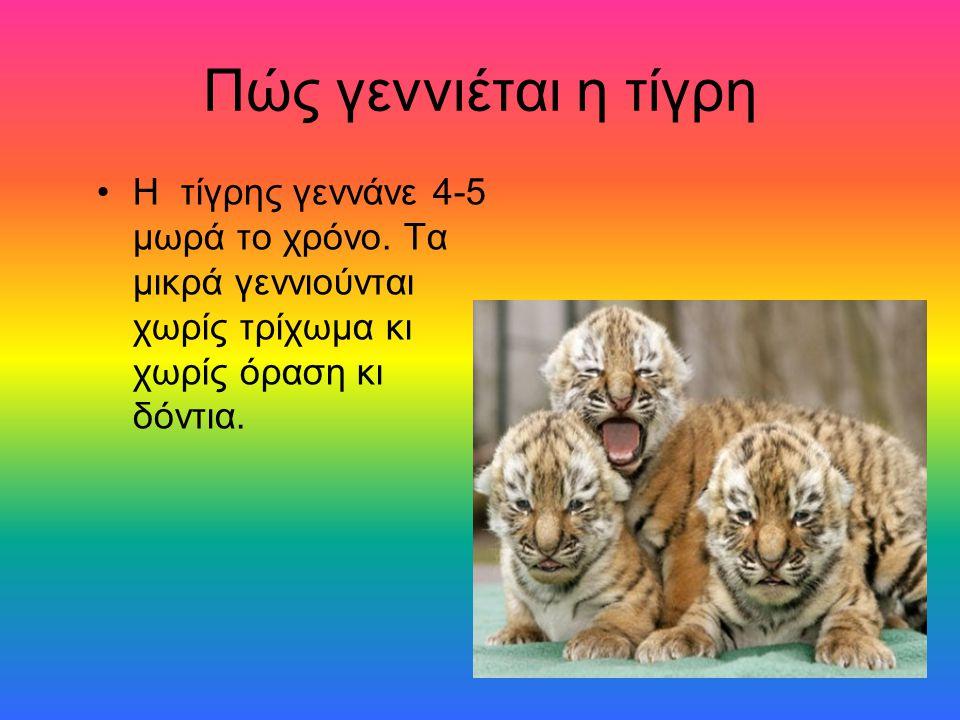 Πώς γεννιέται η τίγρη Η τίγρης γεννάνε 4-5 μωρά το χρόνο. Τα μικρά γεννιούνται χωρίς τρίχωμα κι χωρίς όραση κι δόντια.