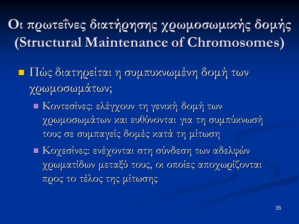 Πώς διατηρείται η συμπυκνωμένη δομή των χρωμοσωμάτων; Πώς διατηρείται η συμπυκνωμένη δομή των χρωμοσωμάτων; Κοντεσίνες: ελέγχουν τη γενική δομή των χρ