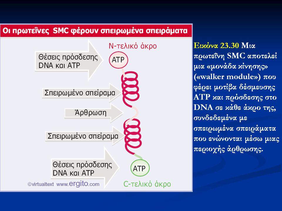 Εικόνα 23.30 Μια πρωτεΐνη SMC αποτελεί μια «μονάδα κίνησης» («walker module») που φέρει μοτίβα δέσμευσης ATP και πρόσδεσης στο DNA σε κάθε άκρο της, σ