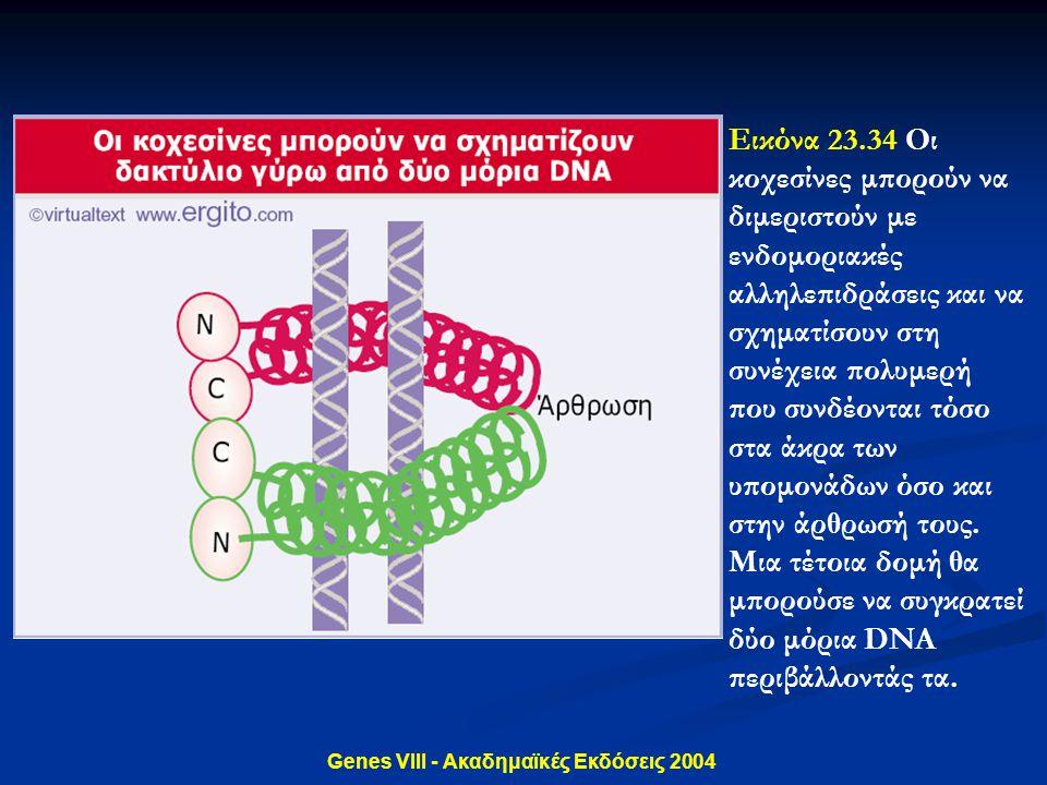 Genes VIII - Ακαδημαϊκές Εκδόσεις 2004 Εικόνα 23.34 Οι κοχεσίνες μπορούν να διμεριστούν με ενδομοριακές αλληλεπιδράσεις και να σχηματίσουν στη συνέχει