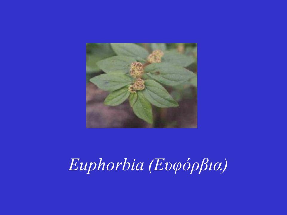 Euphorbia (Ευφόρβια)