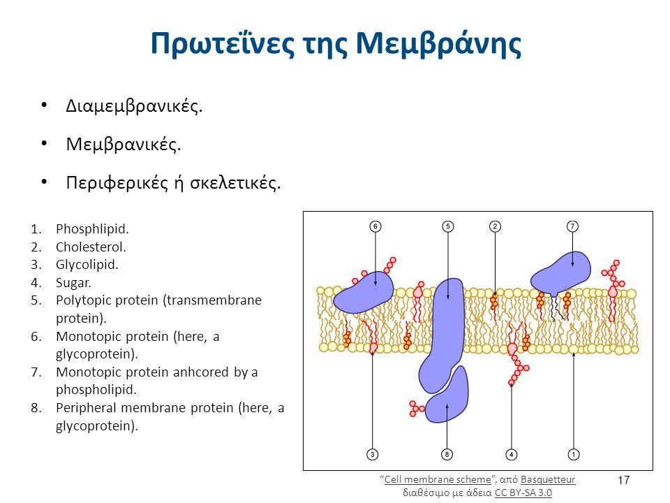 Πρωτεΐνες της Μεμβράνης Διαμεμβρανικές. Μεμβρανικές. Περιφερικές ή σκελετικές. 17 1.Phosphlipid. 2.Cholesterol. 3.Glycolipid. 4.Sugar. 5.Polytopic pro