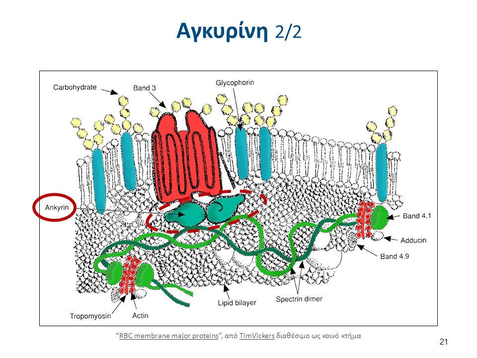 """Αγκυρίνη 2/2 21 """"RBC membrane major proteins"""", από TimVickers διαθέσιμο ως κοινό κτήμαRBC membrane major proteinsTimVickers"""