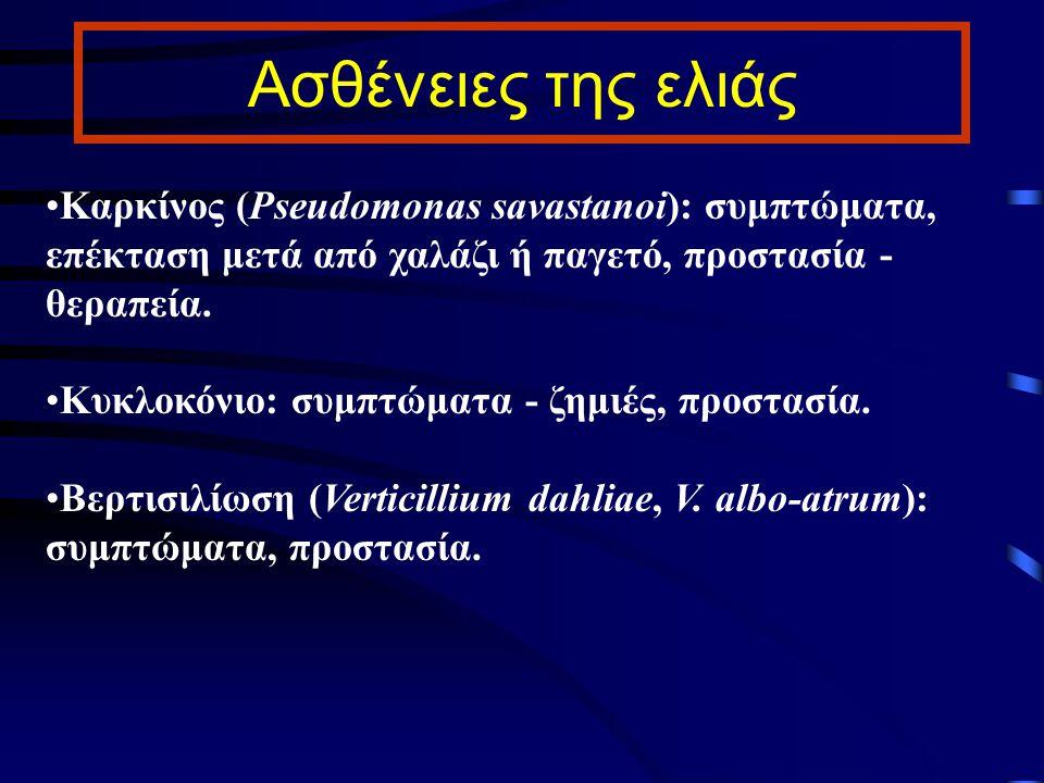 Ασθένειες της ελιάς Καρκίνος (Pseudomonas savastanoi): συμπτώματα, επέκταση μετά από χαλάζι ή παγετό, προστασία - θεραπεία. Κυκλοκόνιο: συμπτώματα - ζ