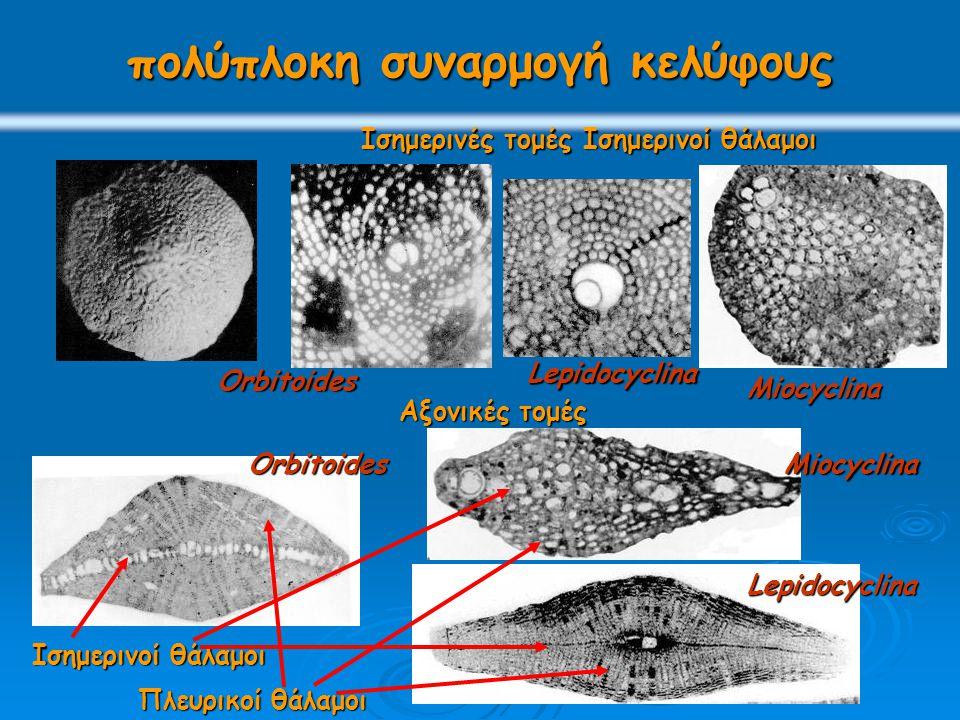 πολύπλοκη συναρμογή κελύφους Ισημερινοί θάλαμοι Πλευρικοί θάλαμοι Ισημερινές τομές Ισημερινοί θάλαμοι Αξονικές τομές Orbitoides Lepidocyclina Miocyclina Lepidocyclina MiocyclinaOrbitoides