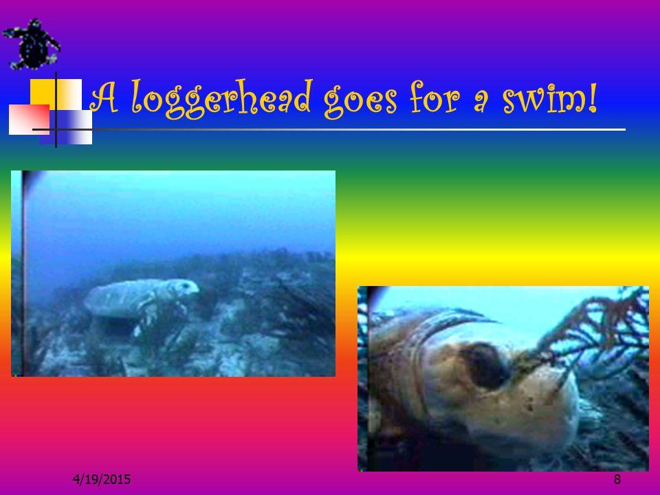 4/19/20158 A loggerhead goes for a swim!