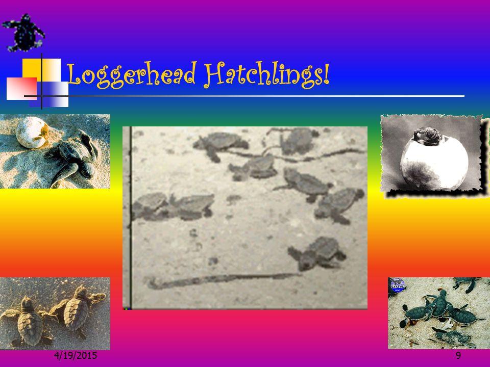 4/19/20159 Loggerhead Hatchlings!