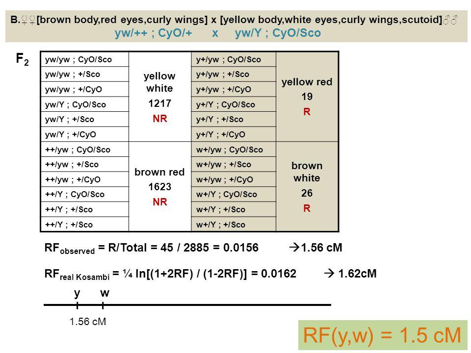 B.♀♀[brown body,red eyes,curly wings] x [yellow body,white eyes,curly wings,scutoid]♂♂ yw/++ ; CyO/+ x yw/Y ; CyO/Sco yw/yw ; CyO/Sco yellow white 121