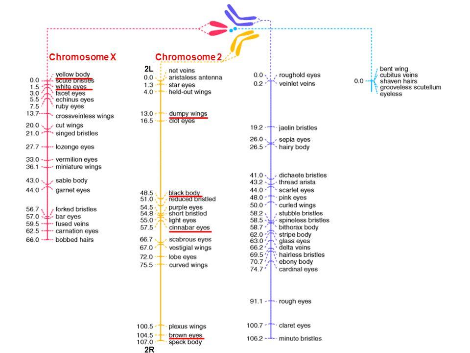 Chromosome XChromosome 2 2L 2R