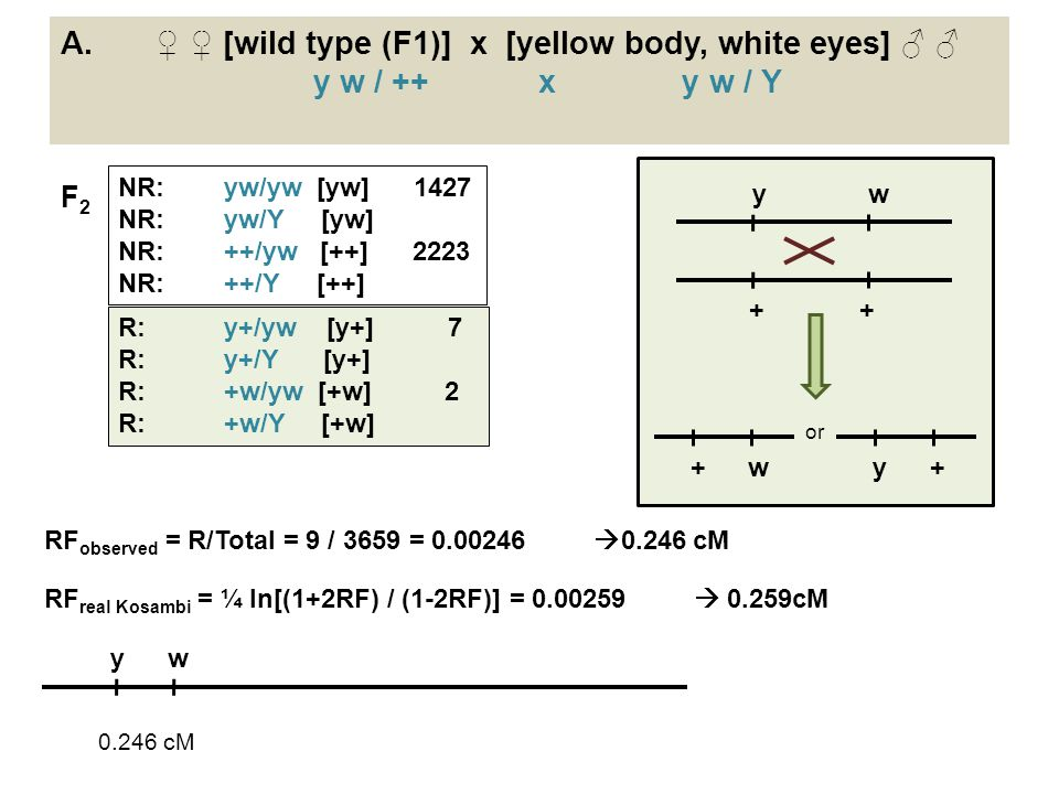 Α. ♀ ♀ [wild type (F1)] x [yellow body, white eyes] ♂ ♂ y w / ++ x y w / Y RF observed = R/Total = 9 / 3659 = 0.00246  0.246 cM RF real Kosambi = ¼ l