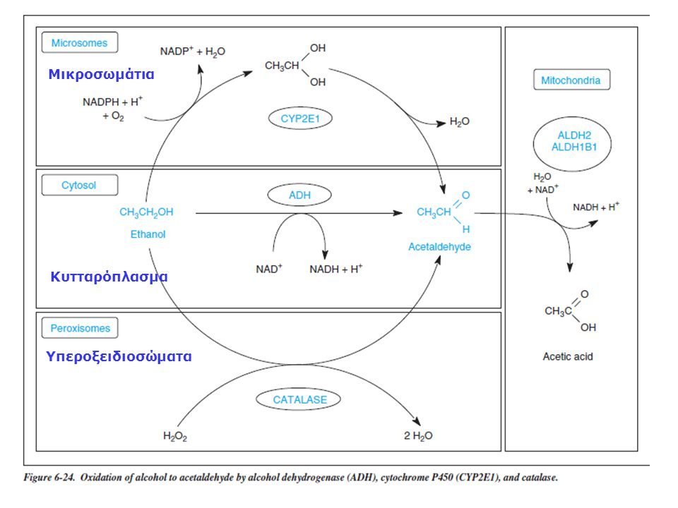 Κυτταρόπλασμα Υπεροξειδιοσώματα Μικροσωμάτια