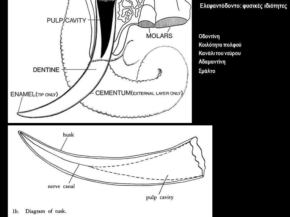 Οδοντίνη Κοιλότητα πολφού Κανάλι του νεύρου Αδαμαντίνη Σμάλτο Ελεφαντόδοντο: φυσικές ιδιότητες